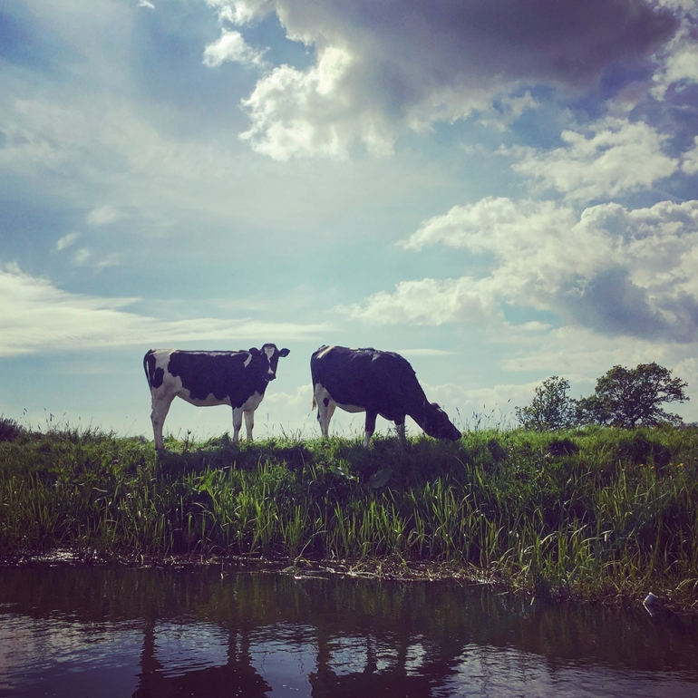 cows-river-ouse-england