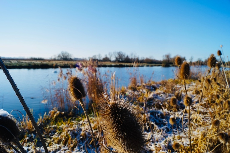 Teasel-plants-river-ouse-ely